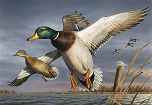 Mallards - Federal duck stamp - by Robert Hautman