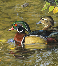 wood duck detail