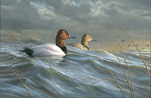 Canvasback painting