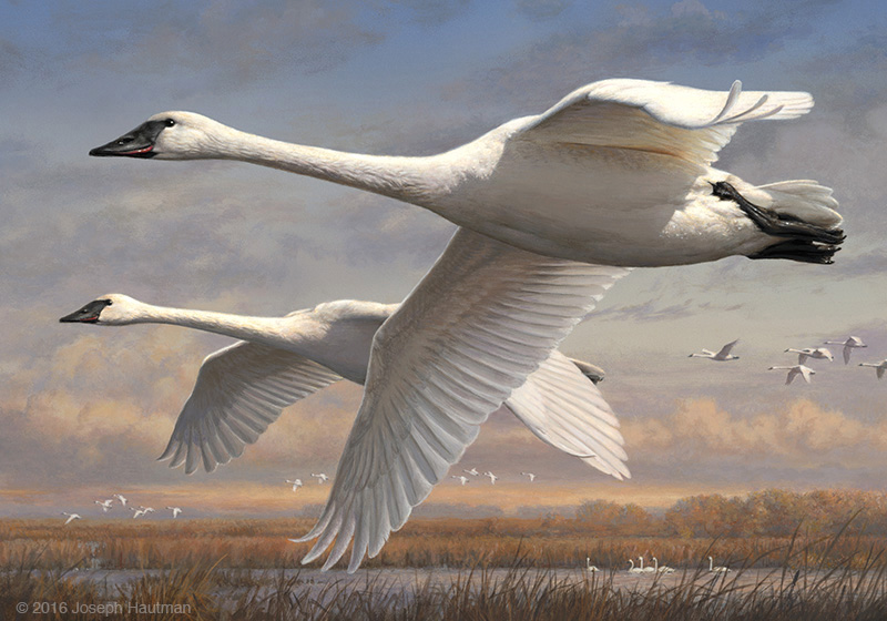2016 2017 federal duck stamp print